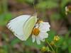 Florida White, Merritt Island NWR, Titusville, FL