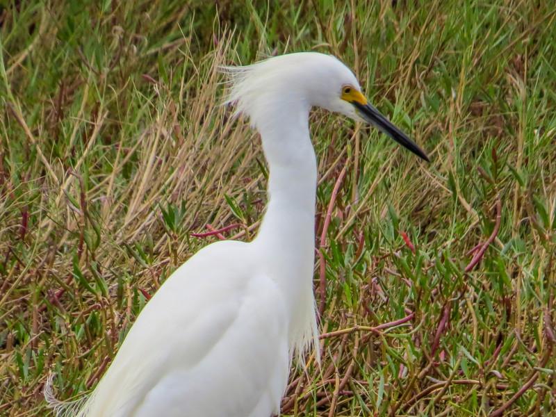 Snowy Egret, Merritt Island NWR, Titusville, FL