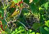 Common Yellowthroat, Fort Mantanzas National Monument, FL