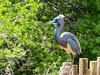 Tricolored Heron, St. Augustine Alligator Farm, St. A FL