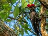 Pileated Woodpecker, Washington Oaks Garden's State Park, Marineland, FL