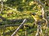 Common Yellowthroat, Sea Hummick Park, St. Augustine Beach, FL