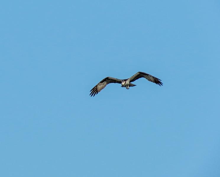 Osprey, Washington Oaks Garden's State Park, Marineland, FL
