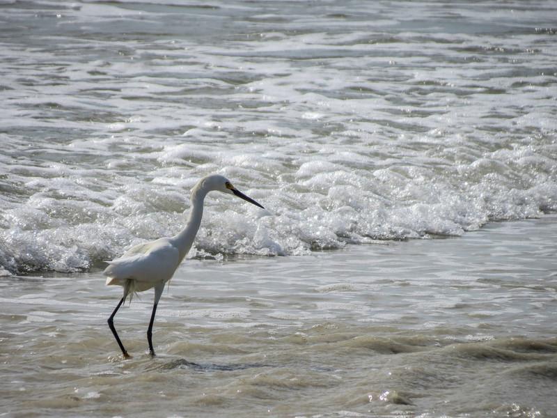 Snowy Egret, Washington Oaks Garden's State Park, Marineland, FL