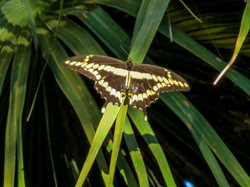 Giant Swallowtail, Washington Oaks Garden's State Park, Marineland, FL