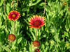 Blanket Flower, Fort Mantanzas National Monument, FL