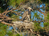Great Blue Heron, Vaill Point Park, St. Augustine FL