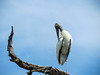 Wood Stork, St. Augustine Alligator Farm, St. A FL