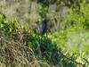 Green Heron, Fort Mantanzas National Monument, FL