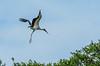 Wood Stork, St. Augustine Alligator Farm, St. A FL