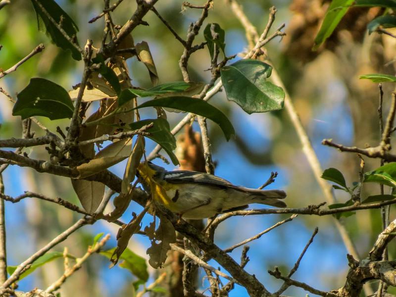 Yellow-throated Warbler, Washington Oaks Garden's State Park, Marineland, FL