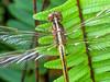 Needham's Skimmer,  Washington Oaks Garden's State Park, Marineland, FL