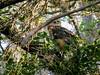 Great Horned Owl, Washington Oaks Garden's State Park, Marineland, FL