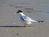 Least Tern, Fort Mantanzas National Monument, FL