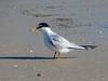 Least Tern, Fort Mantanzas National Monument, FL