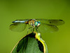 Blue Dasher, Washington Oaks Garden's State Park, Marineland, FL