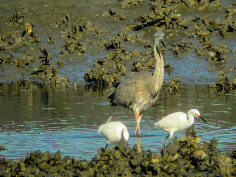 Great Blue Heron, Vaill Point Park, St. Augustine FL (with Snowy Egret)