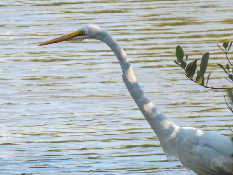 Great Egret, Washington Oaks Garden's State Park, Marineland, FL
