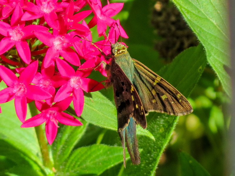 Long-tailed Skipper, Washington Oaks Garden's State Park, Marineland, FL