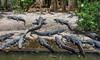 Alligator, St. Augustine Alligator Farm, St. A FL