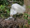 Snowy Egret, St. Augustine Alligator Farm, St. A FL