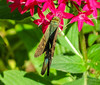 Long-tailed Skipper, Washington Oaks Garden's State Park, Marineland, FL