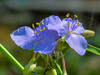 Spiderwort, Fort Mantanzas National Monument, FL