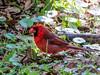 N. Cardinal, Washington Oaks Garden's State Park, Marineland, FL