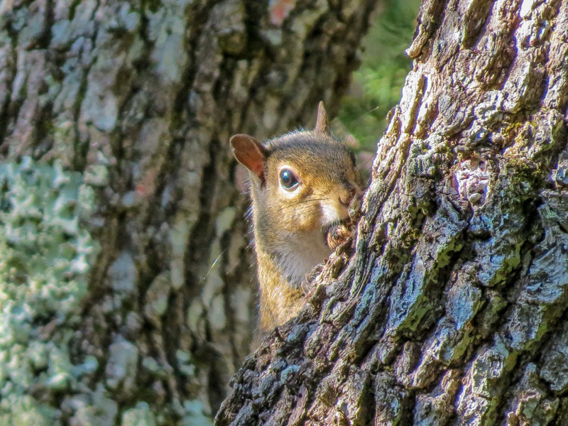 Squirrel, Fort Mantanzas National Monument, FL