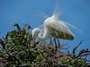Great Egret, St. Augustine Alligator Farm, St. A FL