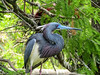 Tricolored Heron, St. Augustine Alligator Farm, St. A FL