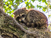 Raccoon, Vaill Point Park, St. Augustine FL