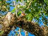 Red-bellied Woodpecker, Washington Oaks Garden's State Park, Marineland, FL