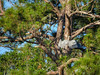 Great Blue Heron, Vaill Point Park, St. Augustine FL