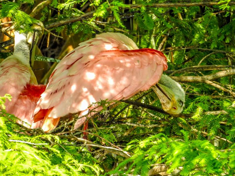 Roseate Spoonbill, St Augustine Alligator Farm, St Augustine, FL