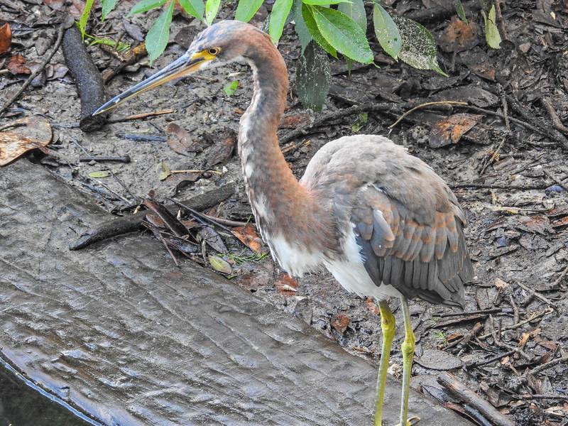 Tricolored Heron, St. Augustine Alligator Farm, St. Augustine, FL