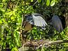 Tricolored Heron, St Augustine Alligator Farm, St Augustine, FL