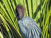 Little Blue Heron, St Augustine Alligator Farm, St Augustine, FL
