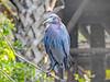 Little Blue Heron, St. Augustine Alligator Farm, St. Augustine, FL