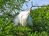 Snowy Egret, St Augustine Alligator Farm, St Augustine FL