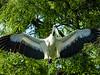 Wood Stork, St Augustine Alligator Farm, St Augustine, FL