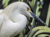 Snowy Egret, St Augustine Alligator Farm, St Augustine, FL