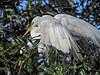 Great Egret, St. Augustine Alligator Farm, St. Augustine, FL