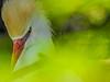 Cattle Egret, St Augustine Alligator Farm, St Augustine, FL