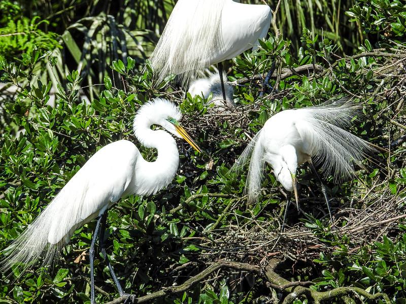 Great Egret, St Augustine Alligator Farm, St Augustine, FL