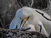Snowy Egret, St. Augustine Alligator Farm, St. Augustine, FL