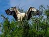 Wood Stork, St. Augustine Alligator Farm, St. Augustine, FL