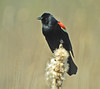 Red-winged Blackbird, Ottawa NWR, OH 5/11