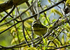 Golden-crowned Kinglet, Magee Marsh, OH 5/11