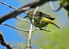 Palm Warbler, Magee Marsh, OH 5/11